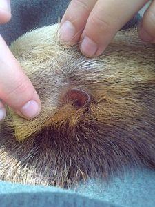 sloth ears