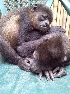 baby howler monkeys