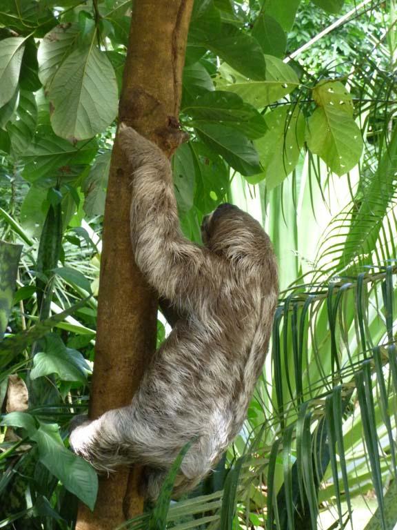 Sloth next to the pulperia in Playa Chiquita (wild)