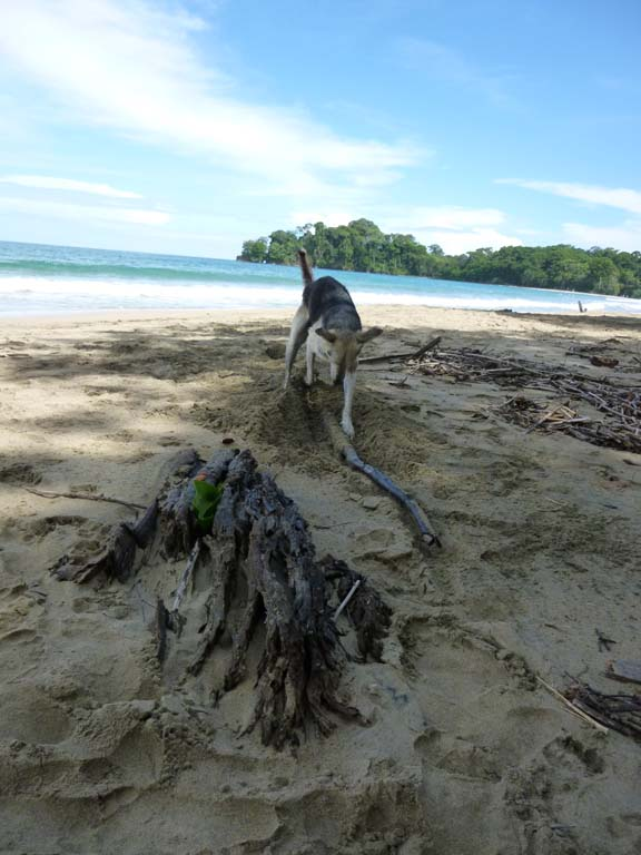 Sweet dog who loved to have sticks and coconuts thrown. She started burying this one