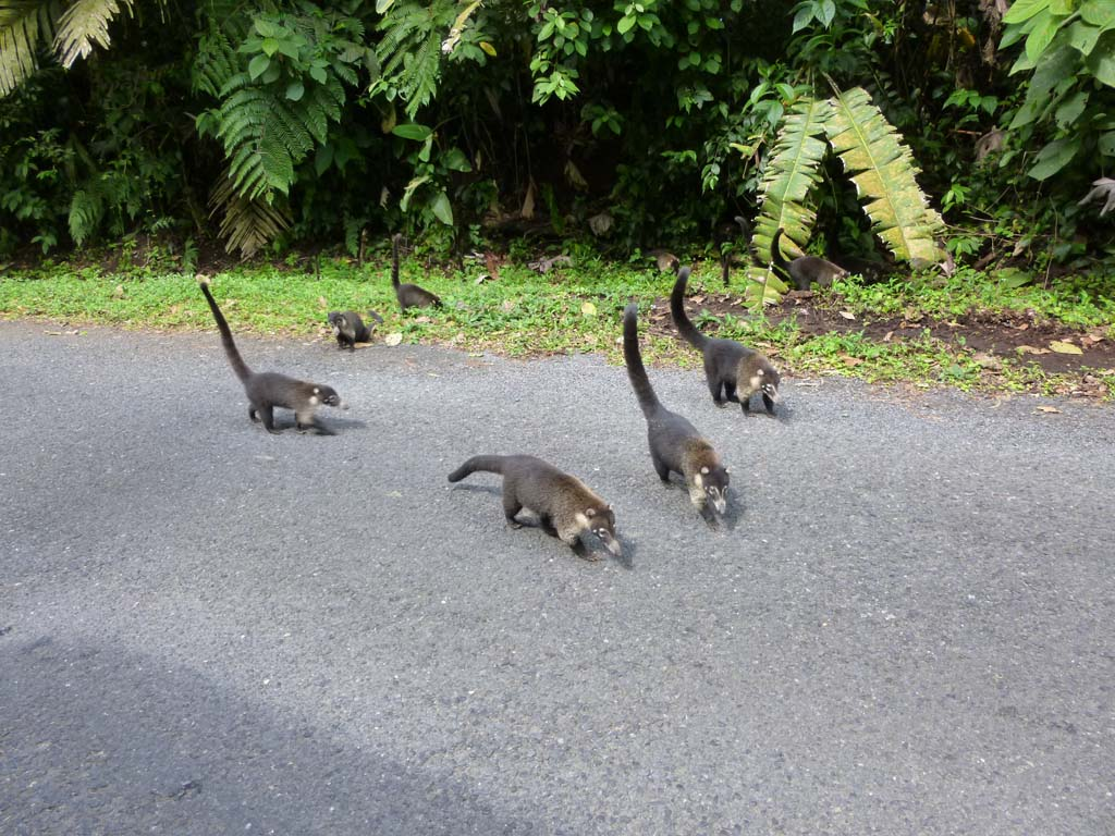 Family of coati's near Arenal park