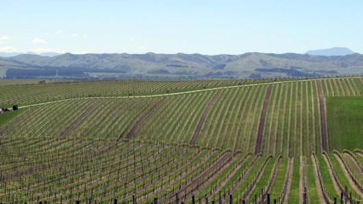 Part of Yealands vineyard