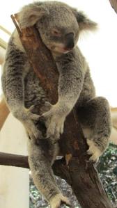 Koala gang signs