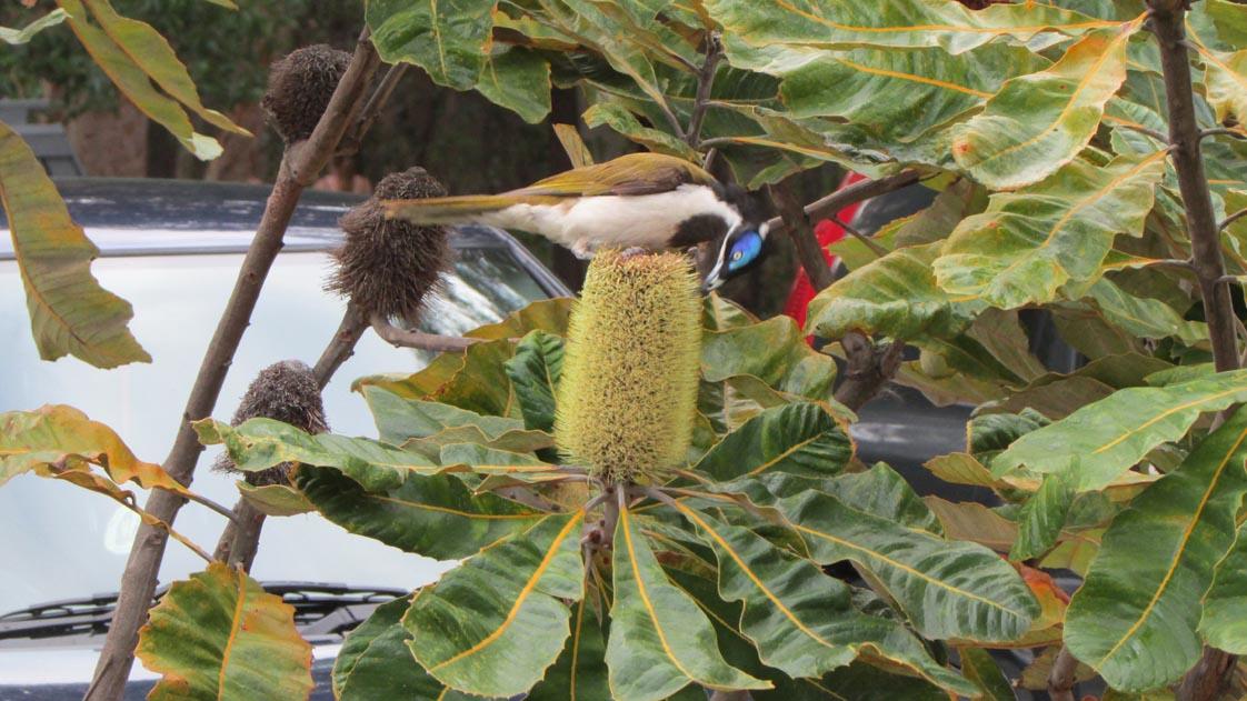 Bird at Mt. Coolum park