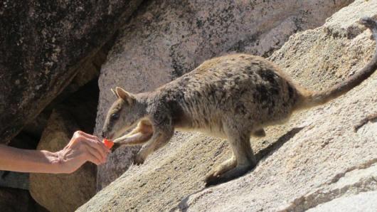Rock Wallaby on Geoffrey Bay, Magnetic Island