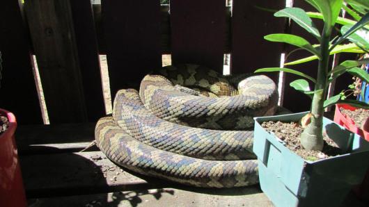 carpet python townsville