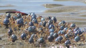 soldier crabs australia