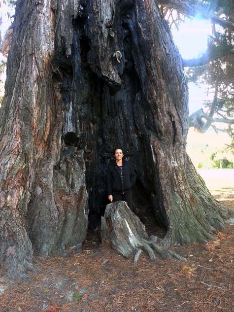 Pollard Park tree Blenheim