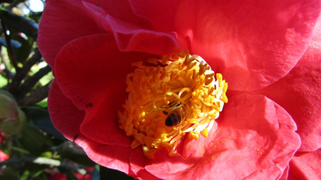 Bee inside a camellia bloom
