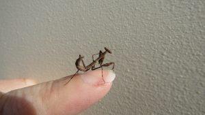 baby mantis