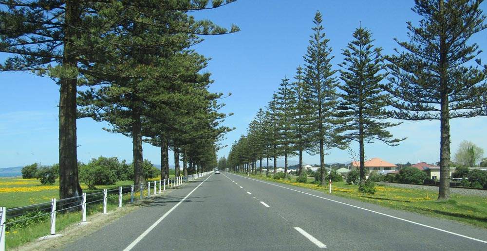 napier main road pine trees