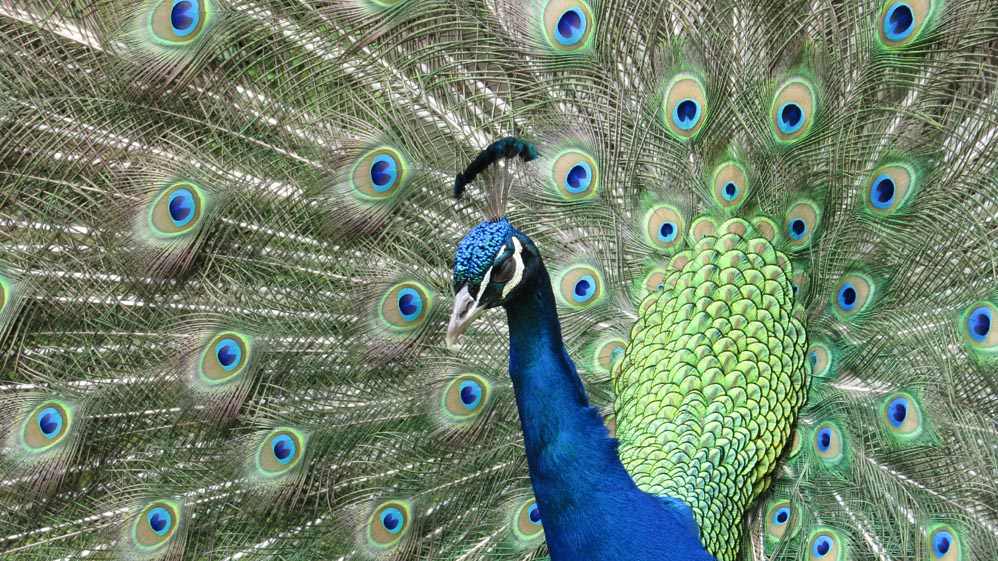 thermal walkway taupo peacocks