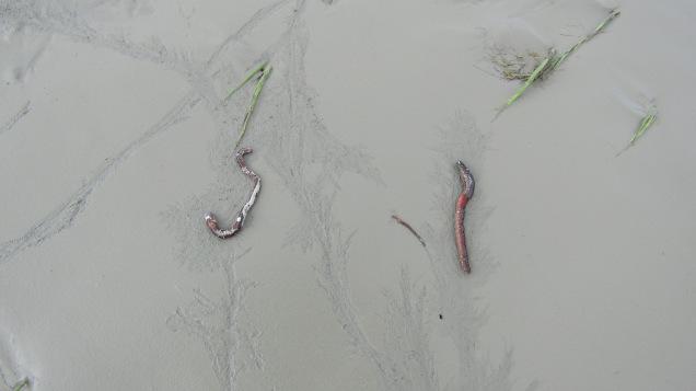 blenheim rowing club liquefaction worms