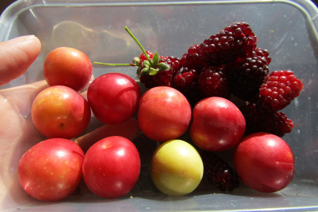 New Zealand cherry plum loganberries
