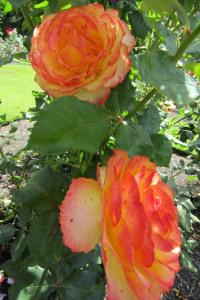 Tequila Sunrise roses