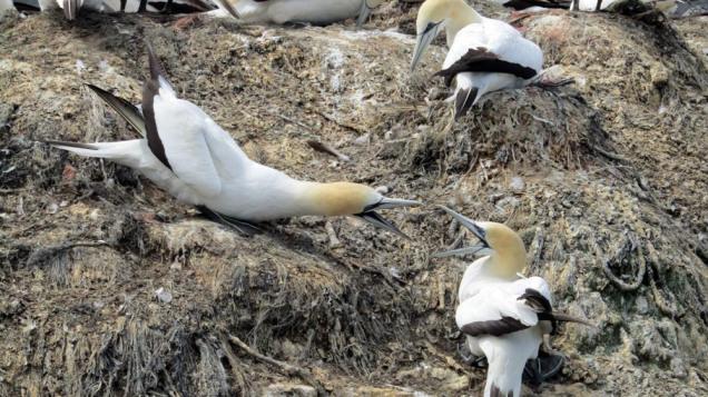 Gannet colony Pelorus Sound