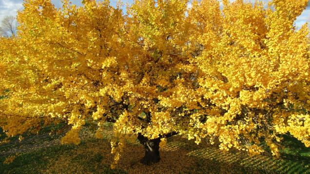 Pakowhai Regional Park ginkgo tree