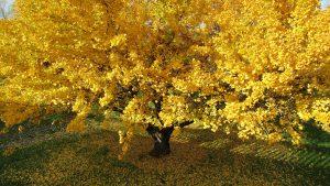 yellow ginko tree new zealand