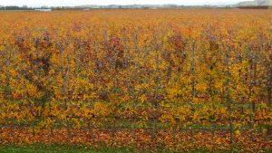 fall apple orchard napier