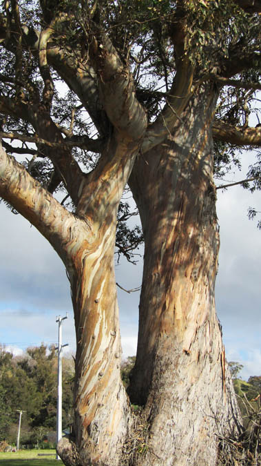 cape kidnappers gum tree