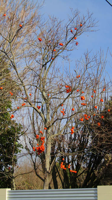 persimmon tree new zealand