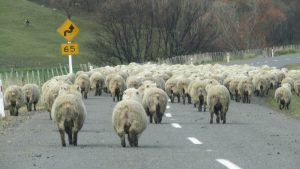 sheep in the road new zealand