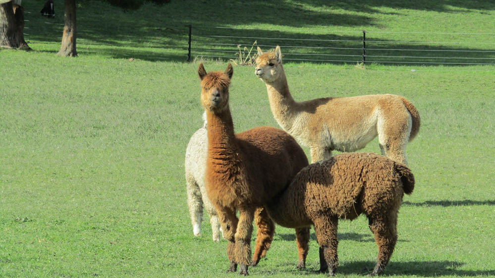 new zealand llamas