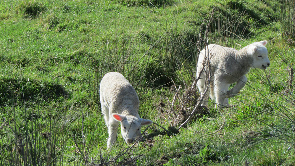 waipukurau new zealand lambs