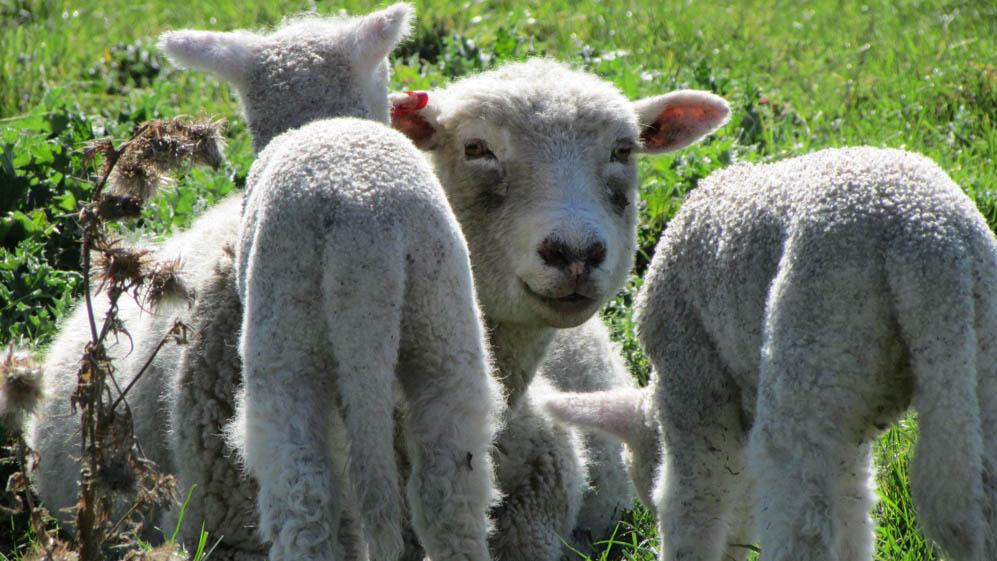 waipukurau lambs