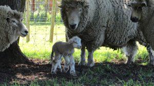 waipukurau new zealand lamb