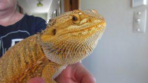 bearded dragon new zealand