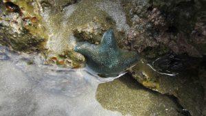 fat blue starfish