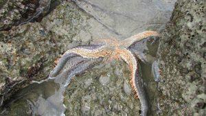 Seven armed Star Astrostole scabra new zealand hawkes bay