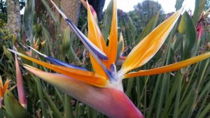 Brooklands park birds of paradise