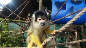 Brooklands zoo squirrel monkey