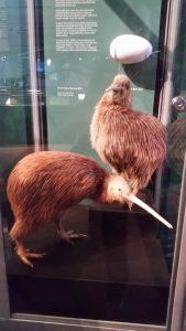 New Plymouth museum kiwi