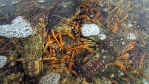 New Zealand crayfish