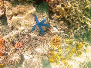 taveuni-fiji-blue-starfish