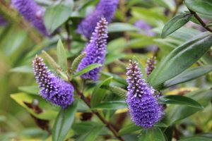 Purple hebe flowers