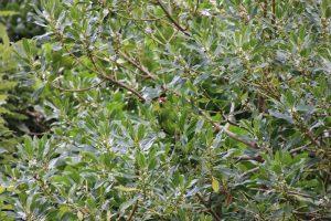 kakariki red crowned parakeet in tree Kapiti Island Reserve
