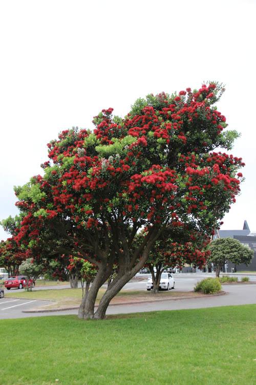 pohutukawa tree Kapiti coast beach