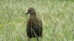 weka bird on Kapiti Island Reserve