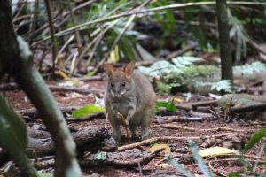 wallaby in Mary Cairncross forest
