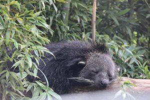 Wildlife HQ Binturong resting
