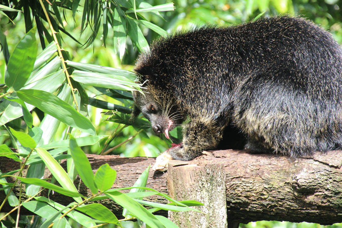 Wildlife HQ Binturong