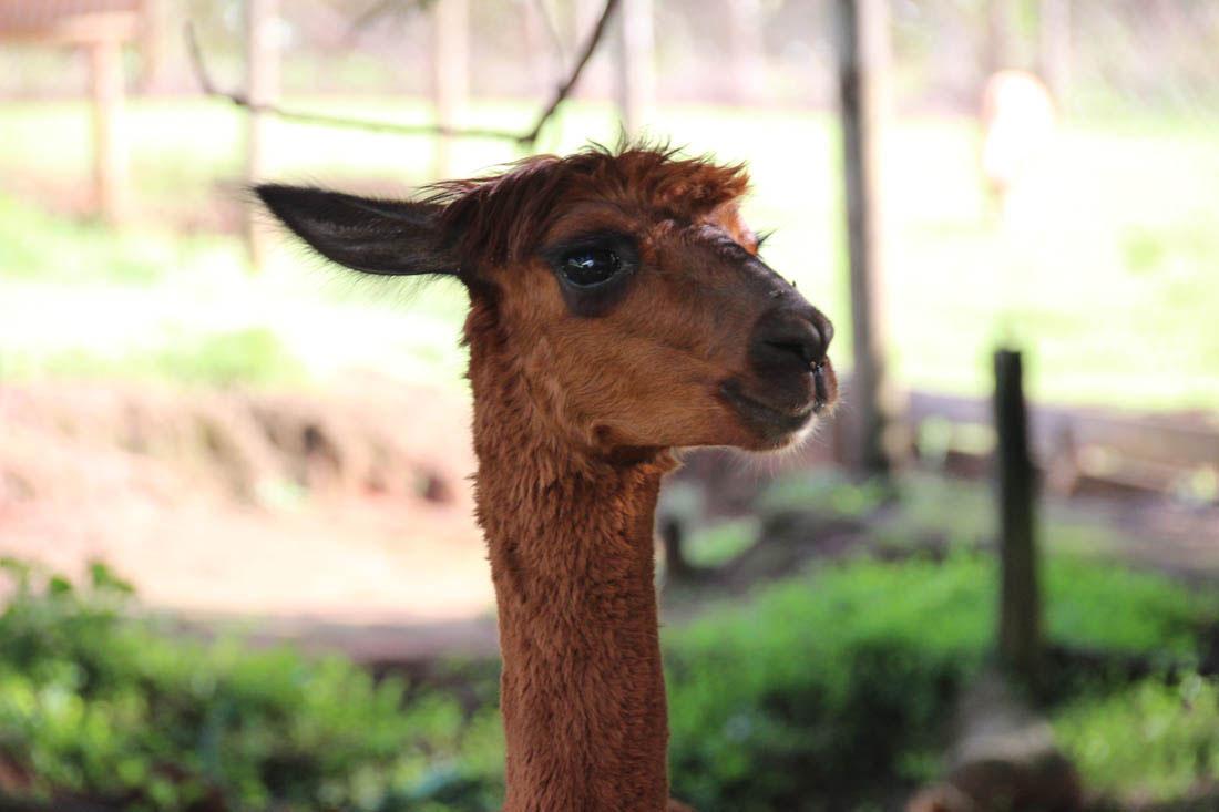 Wildlife HQ alpaca