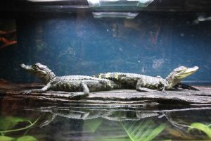 Wildlife HQ baby aligators