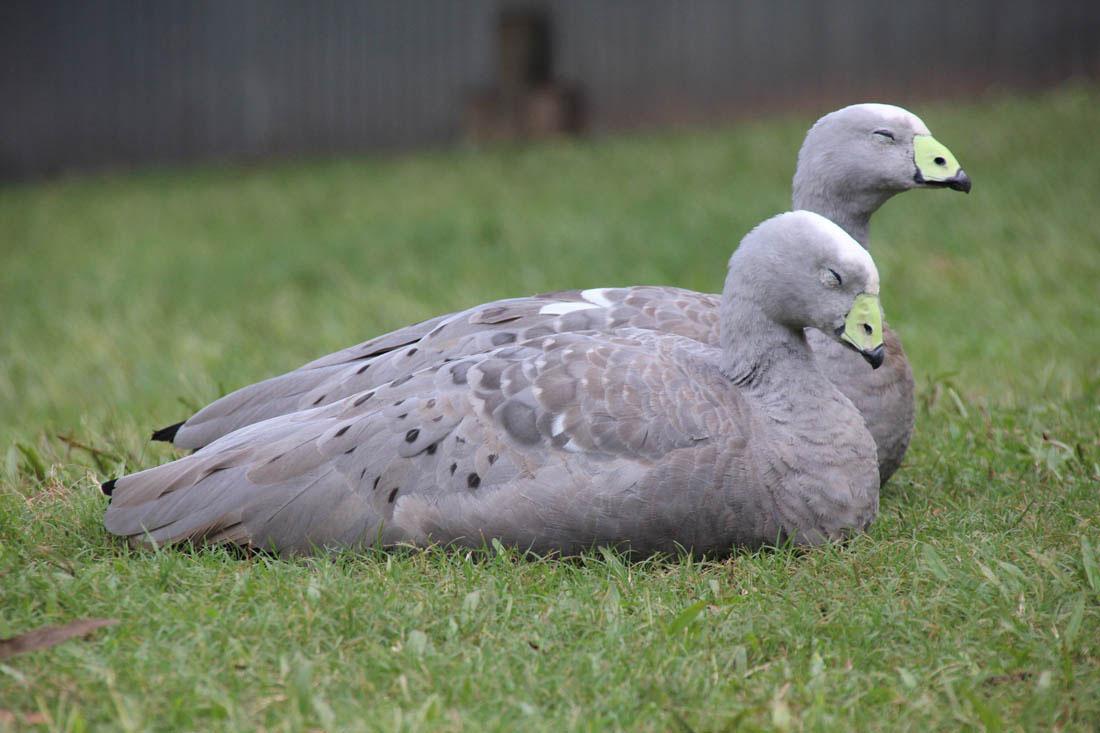 Wildlife HQ cape barren goose