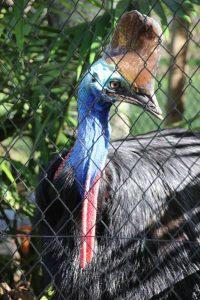 Wildlife HQ cassowary
