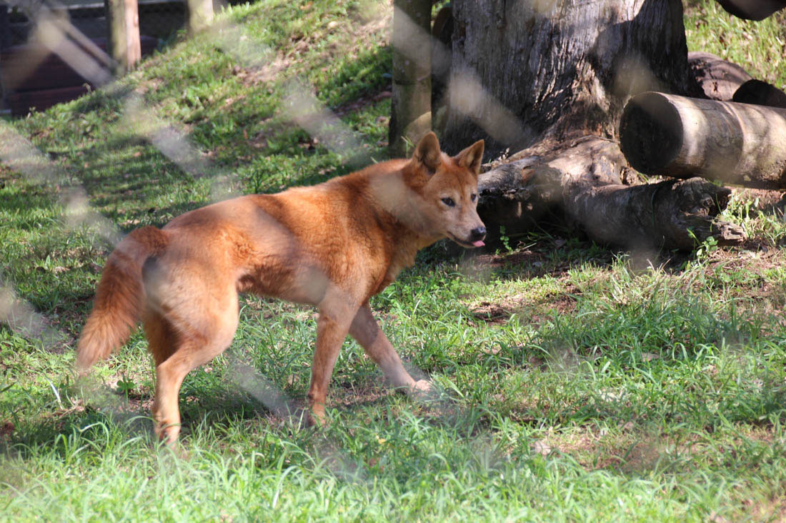 Wildlife HQ dingo